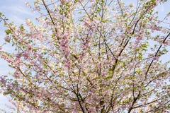 È Sakura in fiore Fotografie Stock