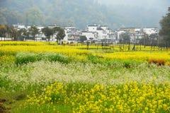 Canola fiore-ha riempito i villaggi Immagini Stock