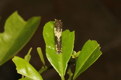 3ème instar de la chenille du papillon de chaux, demoleus de Papillio Image libre de droits