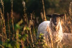 面对照相机的绵羊 免版税库存照片