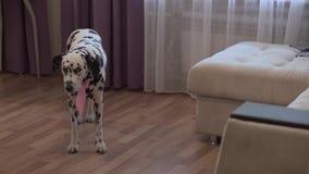 非常与弓的美丽的达尔马提亚狗走在公寓附近的 股票录像