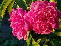 非常美丽的桃红色玫瑰 免版税库存图片