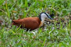 非洲jacana鸟 免版税库存照片