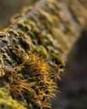 青苔coverd篱芭自然公园绿色Closs-Up 免版税库存图片