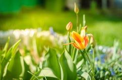 领域花黄色郁金香 与开花的黄色郁金香/春天花的美好的自然场面 背景蒲公英充分的草甸春天黄色 免版税图库摄影