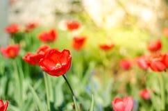 领域花郁金香 与开花的红色郁金香的美好的自然场面在太阳火光/春天花 美丽的草甸 春天 库存图片