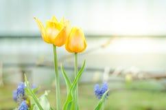 领域花郁金香 与开花的黄色郁金香的美好的自然场面反弹花 美丽的草甸 背景蒲公英充分的草甸春天黄色 库存图片