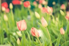 领域花郁金香 与开花的郁金香的美好的自然场面在太阳火光夏天花 夏天背景 库存图片