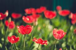 领域花郁金香 与开花的郁金香/夏天花的美好的自然场面 美丽的草甸 夏天背景 免版税库存照片