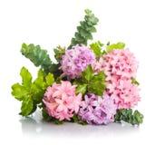 风信花与绿色叶子的桃红色花 图库摄影