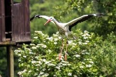 飞行的欧洲白色鹳,Ciconia ciconia在德国自然公园 免版税库存照片