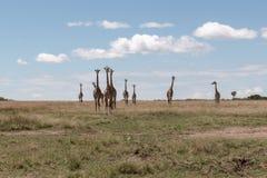 马塞人玛拉长颈鹿,在徒步旅行队,在肯尼亚,非洲 免版税库存照片