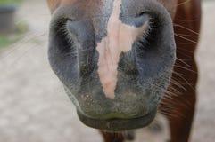马鼻子和颊须 免版税库存图片