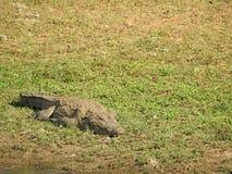 鳄鱼在斯里兰卡的海岛上的亚拉国立公园 免版税图库摄影