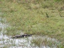 鳄鱼在斯里兰卡的海岛上的亚拉国立公园 库存图片