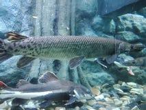鳄鱼雀鳝1,Atractosteus小铲1 库存图片