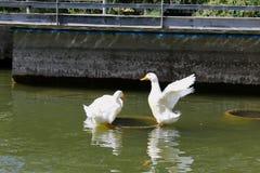 鸭子gooses动物鸟水 免版税库存图片