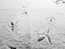 鸟踪影在雪的在冬天 免版税库存图片