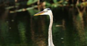 鸟蓝色极大的苍鹭 野生生物佛罗里达 美国 股票录像