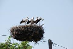 鹳家庭在巢的在电杆 图库摄影