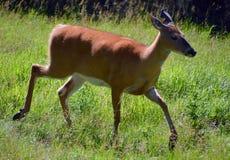鹿是形成家庭Cervidae的反刍动物哺乳动物 库存照片