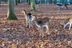 鹿牧群在秋季森林里 库存照片