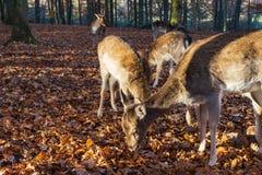 鹿牧群在秋季森林里 免版税库存照片