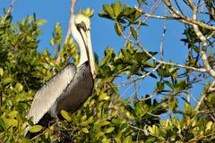 鹈鹕在佛罗里达沼泽地 库存照片
