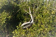 鹈鹕在佛罗里达沼泽地 库存图片