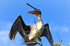 鹈鹕在佛罗里达沼泽地 免版税库存照片
