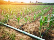 麦地在使用滴水供水系统的乡下这是一种经济农业资源 图库摄影