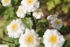 黑豆蚜虫在Achillea ptarmica或欧洲墙草属植物双重花的蚜虫属fabae殖民地  免版税图库摄影