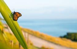 黑脉金斑蝶一瞬间基于露水装载胡麻叶子 库存照片