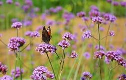 黑脉金斑蝶在一朵淡紫色花的丹尼亚斯plexippus 库存照片
