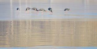 黑鹳在冬天河 库存照片