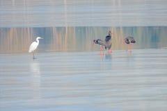 黑鹳和白鹭 图库摄影