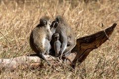黑长尾小猴,肯尼亚,非洲 库存照片