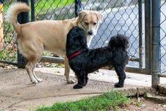 黑Shih慈济和使用在春天的公园的笨蛋狗 免版税库存照片