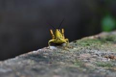 黄褐色蚂蚱 免版税库存照片
