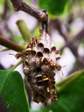 黄蜂巢 保护他们的巢和鸡蛋的4个监护人黄蜂 大下落绿色叶子宏观摄影水 免版税库存图片