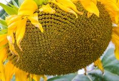 黄色向日葵特写镜头 Suflower开花 免版税库存照片