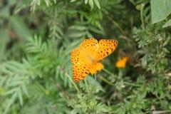 黄色和黑混合蝴蝶坐金盏草 免版税库存图片