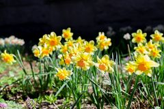 黄色新和白色春天增长的开花的黄水仙背景 黄水仙在庭院,晴朗的春天天气里 库存图片