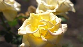黄色玫瑰色绽放在夏天在庭院里 特写镜头 花事务 美丽的花在春天开花在公园 股票录像