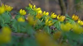 黄色花,菟葵属hyemalis 股票录像