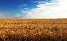 黄色麦田的成熟的耳朵背景在日落多云橙色天空背景的 复制设置的空间 库存图片