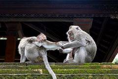 Één aap neemt kind vanaf een andere Royalty-vrije Stock Fotografie