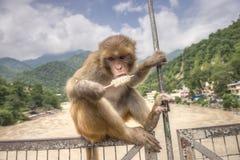 Één aap zit op de brug en eet roomijs Stock Fotografie