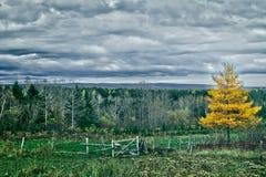 Geel de boomlandschap van de Lariks Royalty-vrije Stock Foto