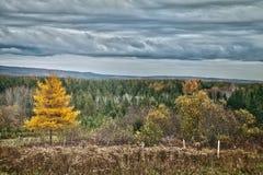 Geel de boomlandschap van de Lariks Stock Afbeelding
